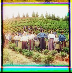 Group of workers harvesting tea. Greek women. Chakva, Georgia.