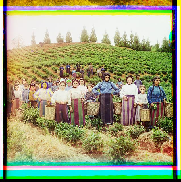 Group of workers harvesting tea. Greek women. Chakva, Georgia.